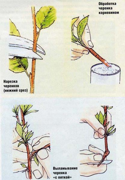Подготовка черенка к посадке или хранению