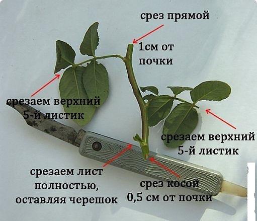 Подготовка черенка розы к посадке