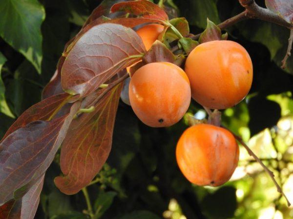 Оранжевые плоды хурмы