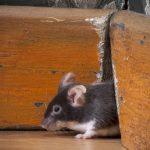 Мышь в дачном доме