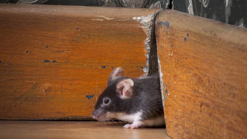 Мыши на даче. Как бороться: эффективность методов. Отпугиватель