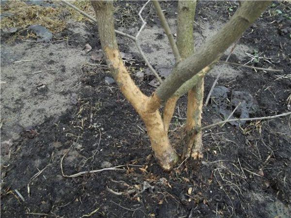 Повреждённое мышами дерево