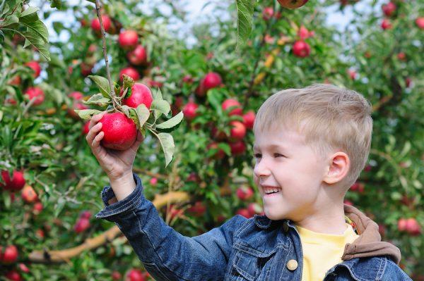 Урожай среднерослых яблонь