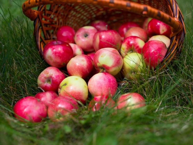 На любой вкус: лучшие сорта яблонь для Средней полосы России
