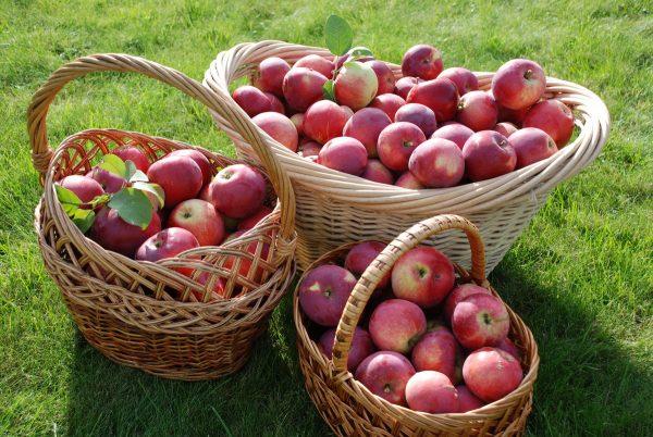 Урожай яблок зарубежной селекции