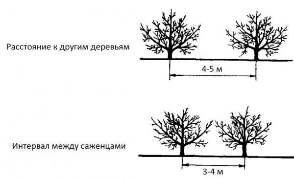 Схема посадки яблонь рядом с другими деревьями
