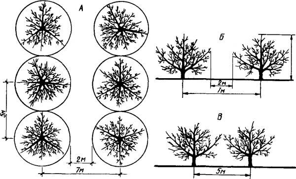 Схема посадки среднерослых яблонь