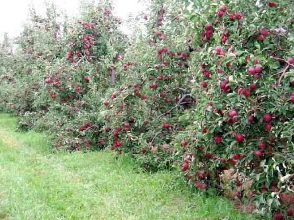 Кустовидные яблони