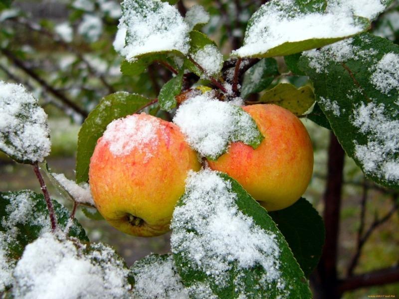 Выдержат любую зиму: лучшие зимостойкие сорта фруктовых деревьев