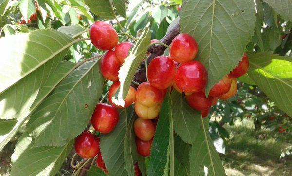 Черешня Наполеон – многоликий южный сорт с вкусными плодами - Интерьер