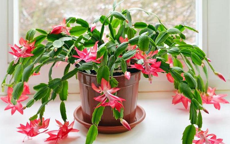 Секреты выращивания Декабриста: как добиться буйного цветения и не загубить цветок