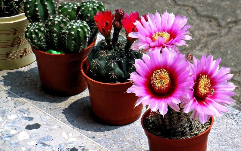 5 веских причин держать дома хотя бы один кактус