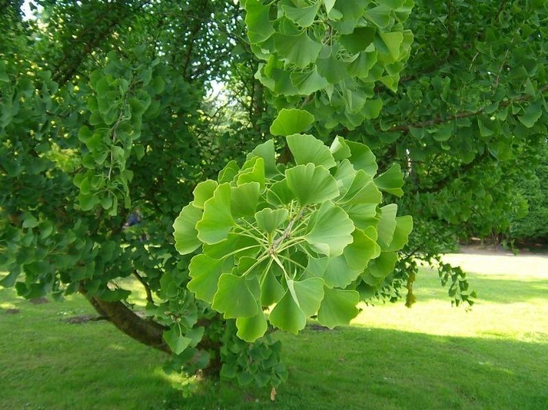 7 экзотических деревьев, которые можно посадить в средней полосе России