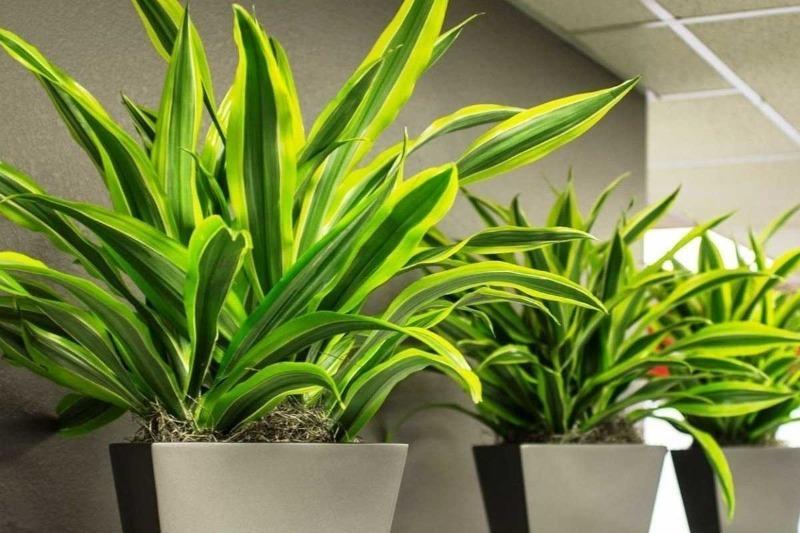 Зеленые великаны: 11 больших комнатных растений, которые помогут превратить дом в оранжерею