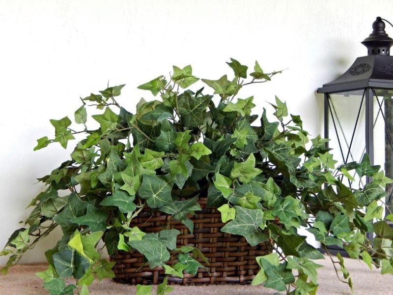Так ли страшен плющ: 6 доказательств того, что растение должно быть в каждом доме