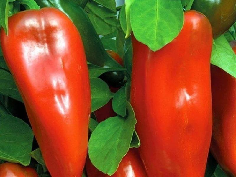 10 самых сладких и ранних сортов болгарского перца, которые удивят высокой урожайностью