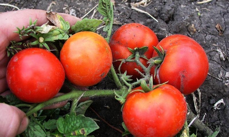 7 лучших сортов томата для раннего посева, которые удивят своей скороспелостью и высокой урожайностью