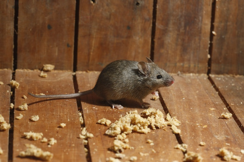 Как избавиться от мышей на даче, не навредив им